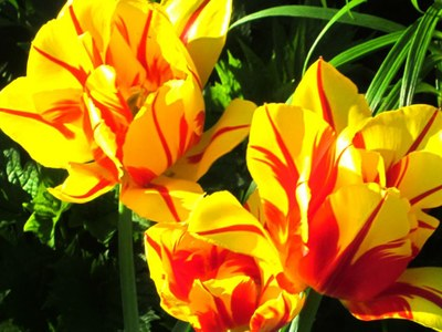 'Olympic Flame' tulip