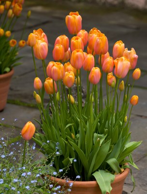 Forced tulips in a container